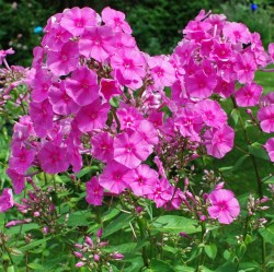 Phlox amplifolia Winntou