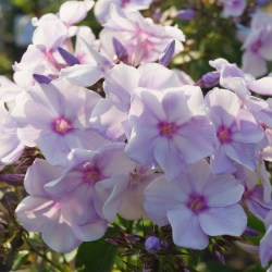 Phlox-'Blue-Bird'-5
