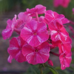 Phlox-'Freckle-Red-Shades'-2