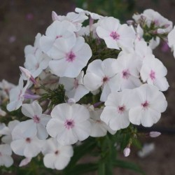 Phlox-Blue-Ice