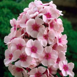 phlox_paniculata_bright_eyes_4_1